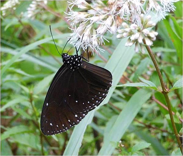 四分尾山森態萬花筒-小紫斑蝶