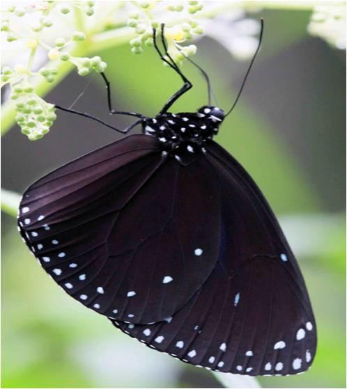四分尾山森態萬花筒-圓翅紫斑蝶