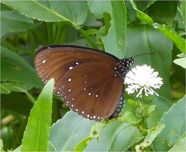 四分尾山森態萬花筒-斯氏紫斑蝶