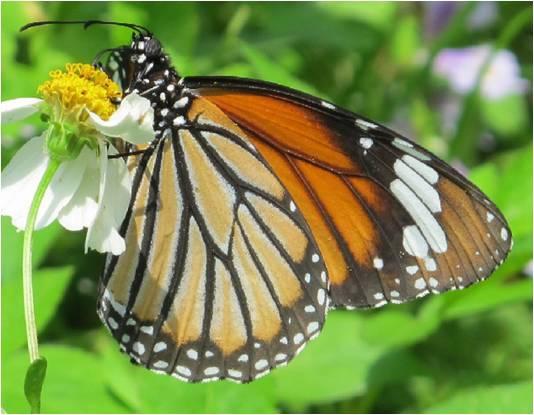 四分尾山森態萬花筒-蝴蝶-黑脈樺斑蝶
