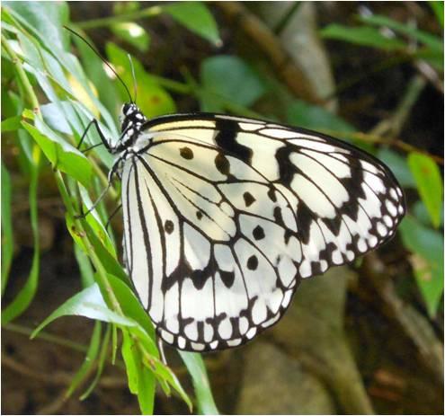 四分尾山森態萬花筒-大白斑蝶