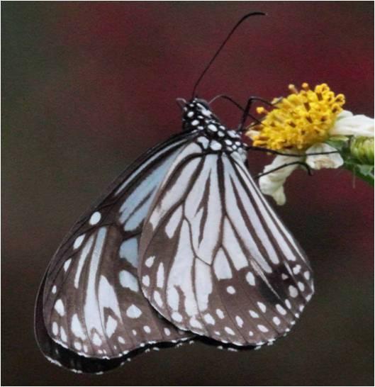四分尾山森態萬花筒-蝴蝶-姬小紋青斑蝶