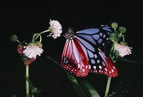 四分尾山森態萬花筒-蝴蝶-青斑蝶