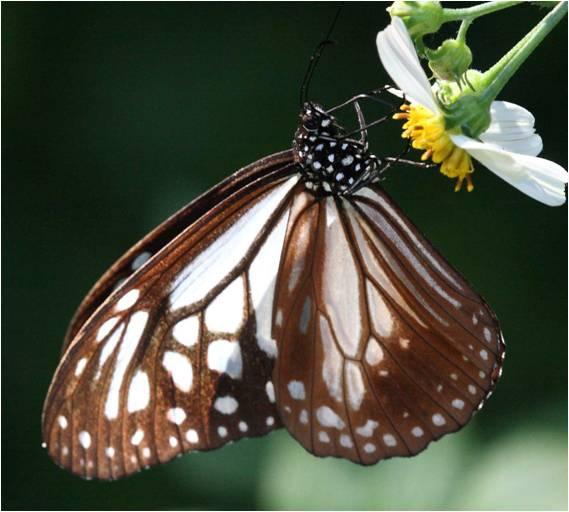 四分尾山森態萬花筒-蝴蝶-小青斑蝶