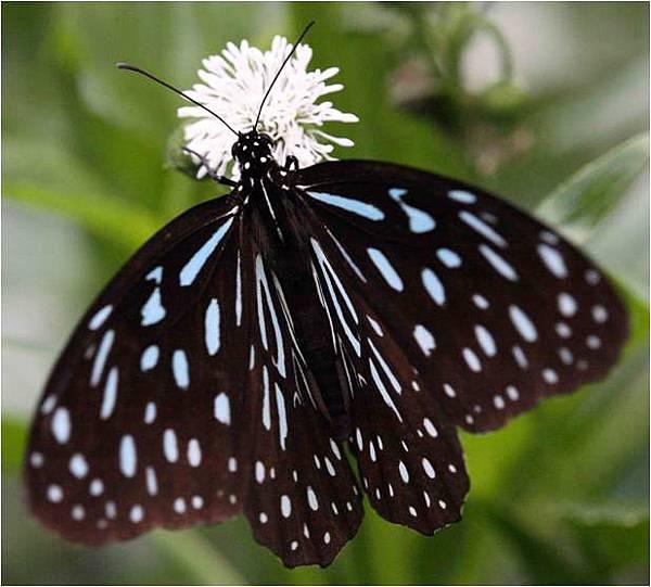 四分尾山森態萬花筒-蝴蝶-小紋青斑蝶