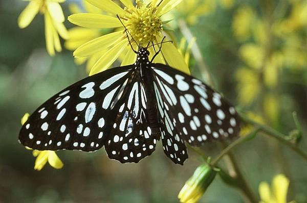 四分尾山森態萬花筒-蝴蝶-淡紋青斑蝶