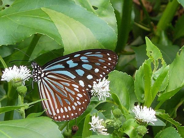 四分尾山森態萬花筒-蝴蝶-琉球青斑蝶