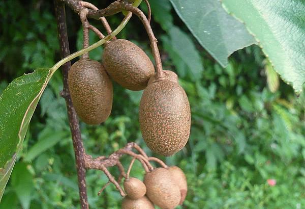 四分尾山森態萬花筒-臺灣原生植物-腺齒獼猴桃