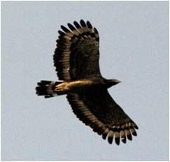 四分尾山森態萬花筒-鳥類-大冠鳩