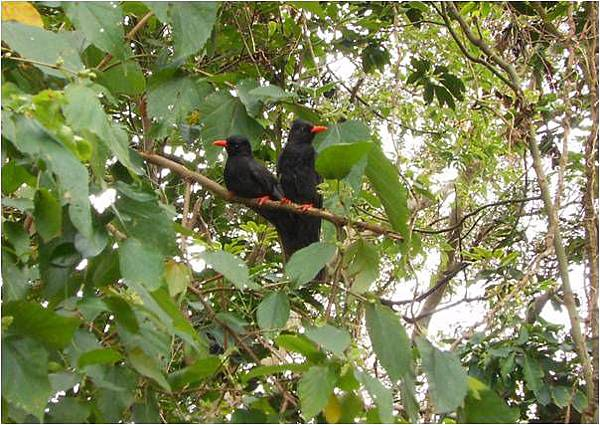 四分尾山森態萬花筒-鳥類-紅嘴黑鵯