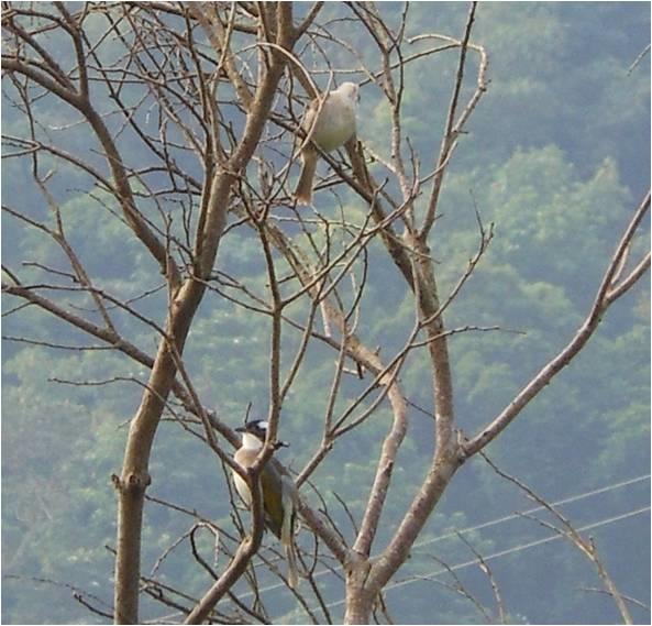 四分尾山森態萬花筒-鳥類-白頭翁