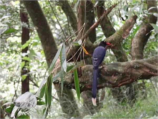 四分尾山森態萬花筒-鳥類-台灣藍鵲