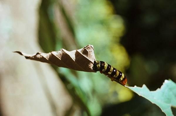大綠挵蝶幼蟲