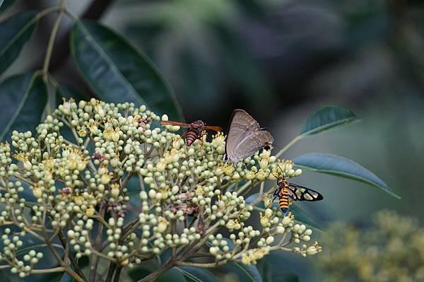 四分尾山森態萬花筒-臺灣原生植物-食茱萸花