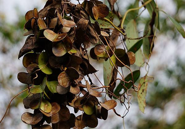 四分尾山森態萬花筒-臺灣原生植物-裡白葉薯榔