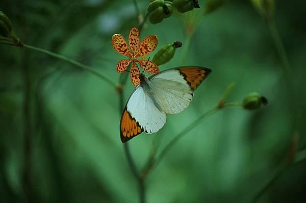 四分尾山森態萬花筒-蝴蝶-端紅蝶