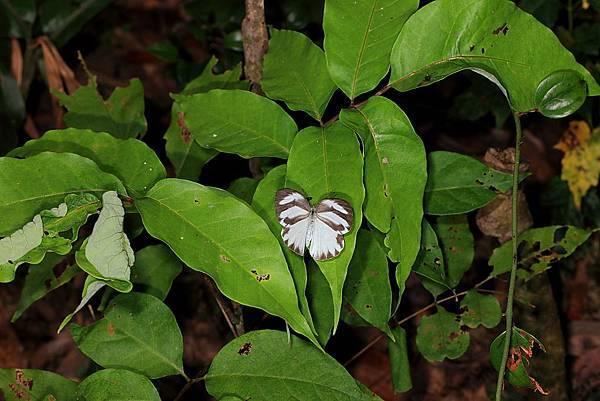 四分尾山森態萬花筒-蝴蝶-輕海紋白蝶
