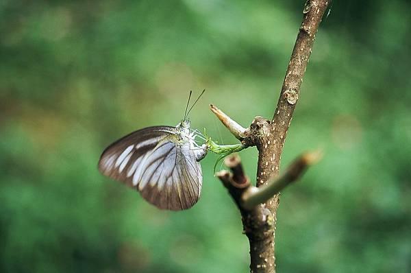 四分尾山森態萬花筒-蝴蝶-台灣粉蝶