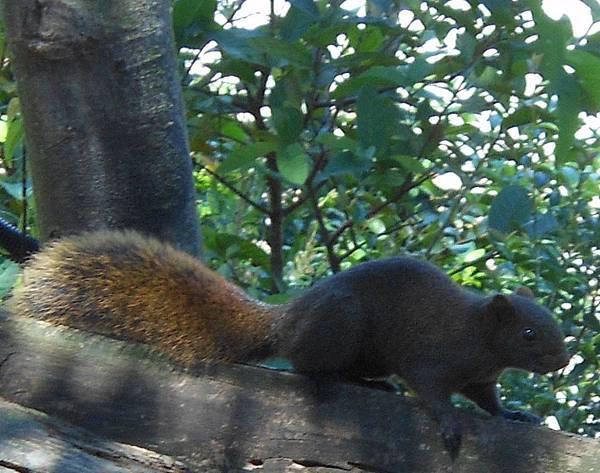 四分尾山森態萬花筒-動物-赤腹松鼠