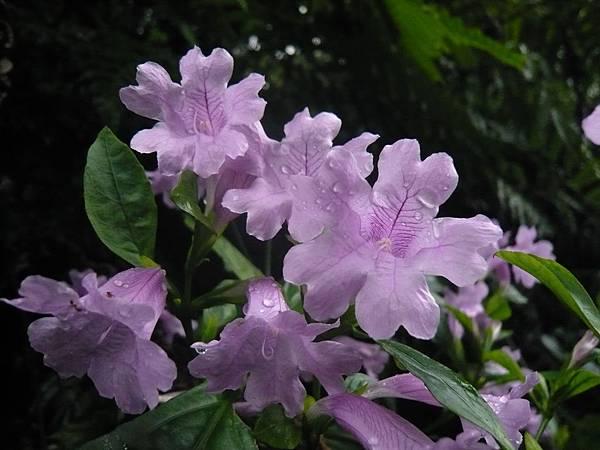 四分尾山森態萬花筒-臺灣原生植物-臺灣馬藍
