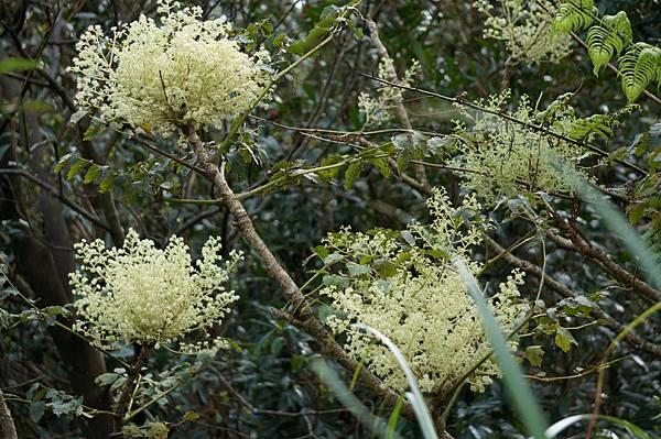 四分尾山森態萬花筒-臺灣原生植物-裡白楤木