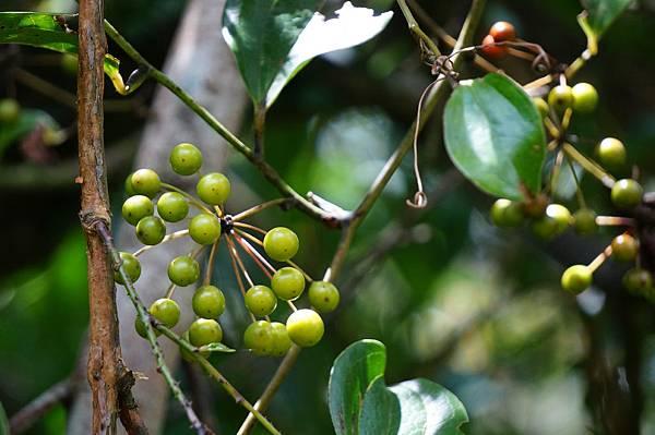 四分尾山森態萬花筒-臺灣原生植物-菝葜