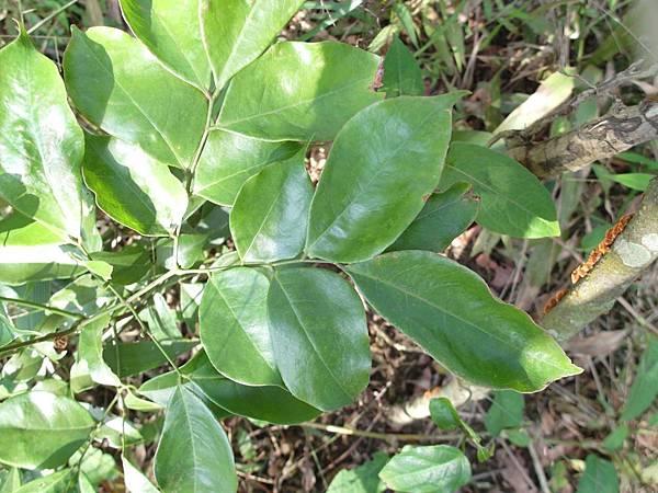 頷垂豆 (1)