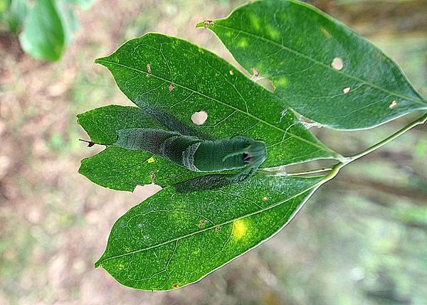 20151128雙尾蝶幼蟲 (5)