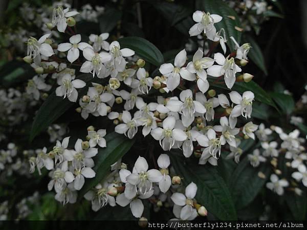 四分尾山森態萬花筒-植物-金石榴