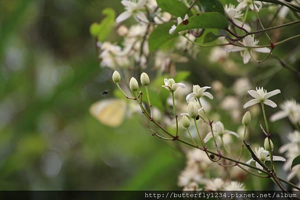 四分尾山森態萬花筒-植物-麥氏鐵線蓮
