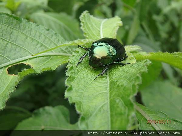 四分尾山森態萬花筒-昆蟲-艷金龜