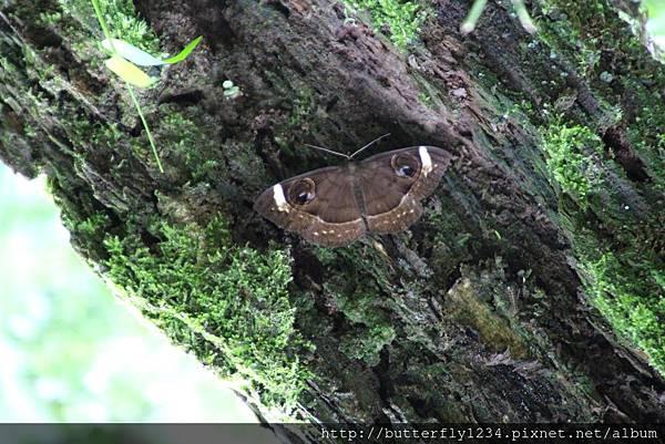 四分尾山森態萬花筒-昆蟲-白線魔目夜蛾