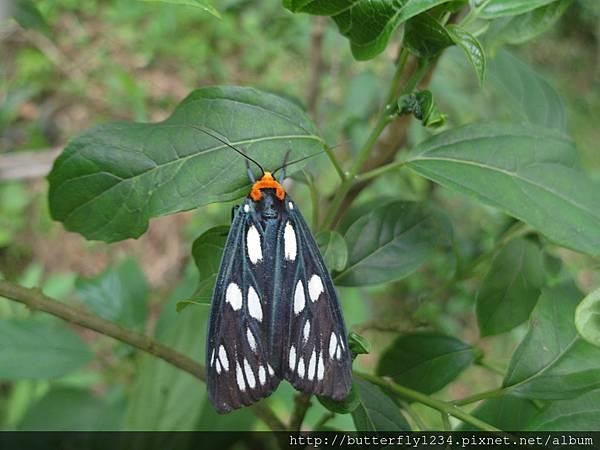四分尾山森態萬花筒-昆蟲-巨網燈蛾