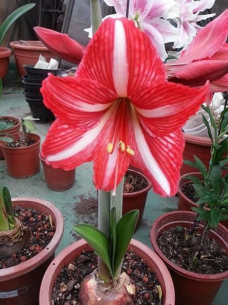Santos (山度士) 2梗各5朵,花徑9公分