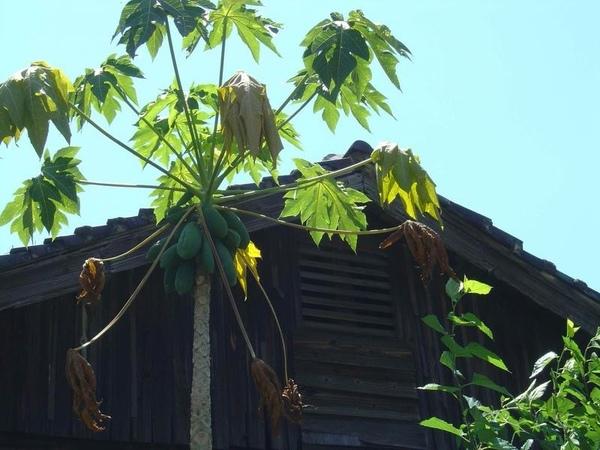 木瓜與老屋