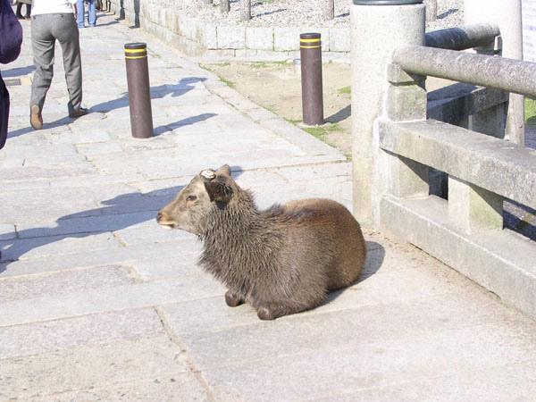 到奈良公園餵食神鹿