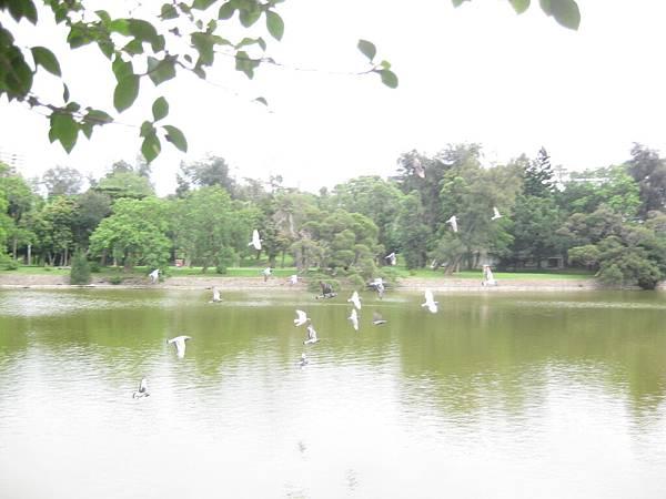 成群起飛的鴿子