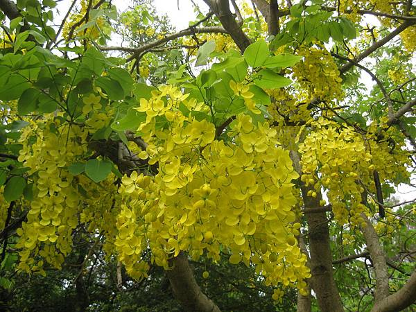不知名的黃花樹