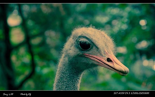 鴕鳥.JPG
