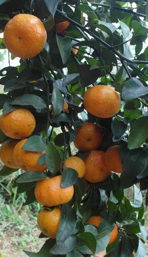 成串的砂糖橘