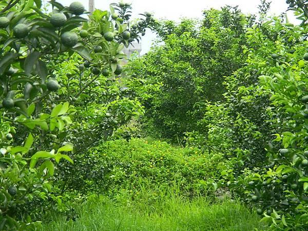 砂糖橘結果樹整齊的秋芽
