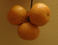 成串的無籽砂糖橘