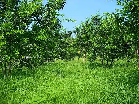 未割草的砂糖橘園