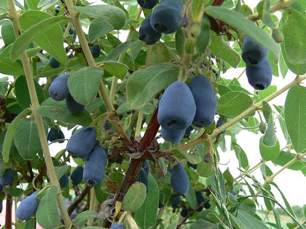 Haskap berry