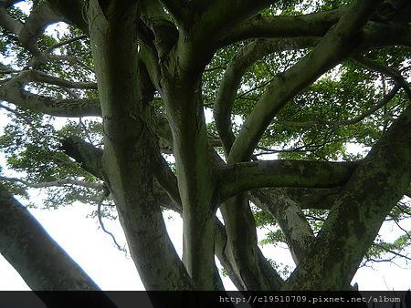 盤根錯節的老樹幹