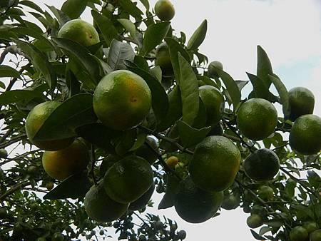 十一月的砂糖橘01