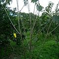烏克蘭櫻桃