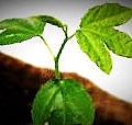 passiflora mollissima01