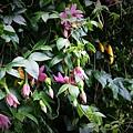 passiflora mollissima04