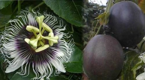 pandora passionfruit